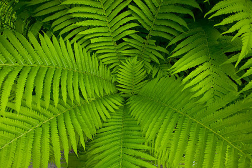 Ferns in Woodstock, Vermont