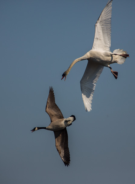 A swan nips at a Canada goose while flying around a Cape May pond.