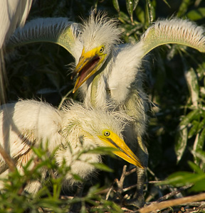 fla_egret_chicks