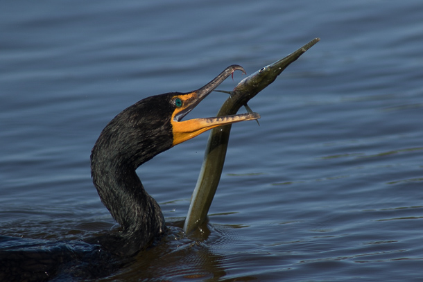cormorant with eel